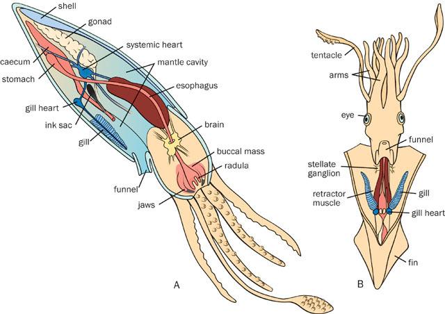 labeled squid external anatomy diagram holden vz sv6 wiring adw: v02_id347_con_cepanat.jpg