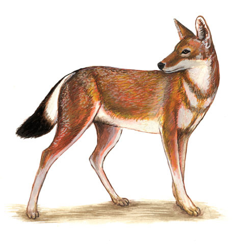 ADW Canis simensis INFORMATION