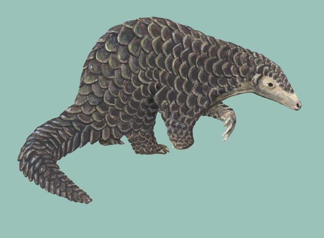 ADW Manis pentadactyla INFORMATION