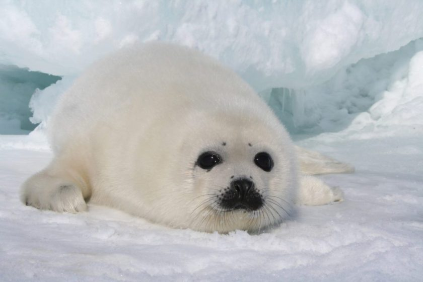 harp-seals-featured