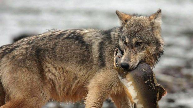 wolf-salmon