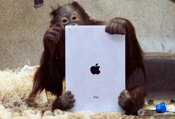 Orangutan-Using-an-iPad