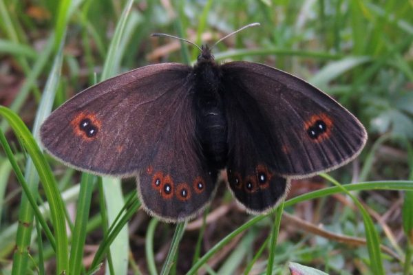bright-eyed-butterfly