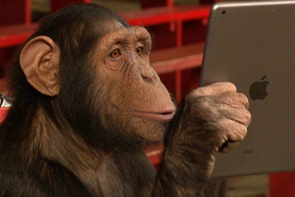 chimpanzees-making-prank-calls
