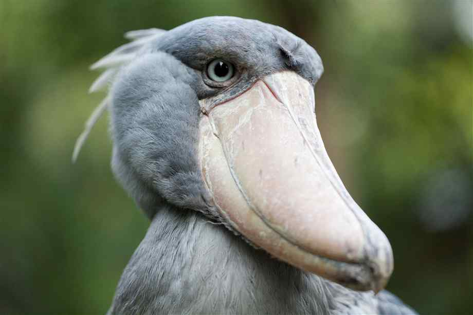 shoebill-closeup
