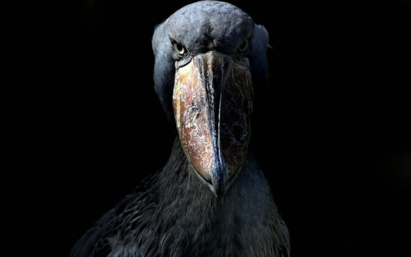 shoebill-prehistoric-bird