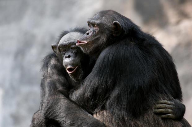Chimpanzees have an omnivorous diet &