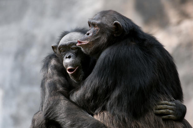 Chimpanzees have an omnivorous diet &