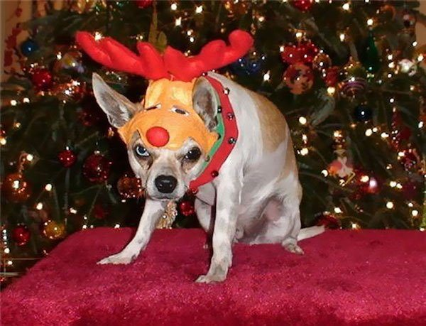 14-grumpy-pets-that-still-dont-have-the-christmas-spirit