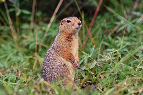 Arctic-Ground-Squirrel