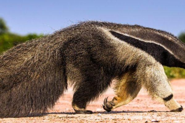 Giant-Anteater