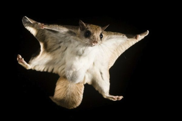 Siberian-Flying-Squirrel