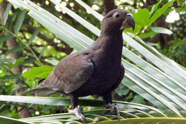 Greater-vasa-parrots