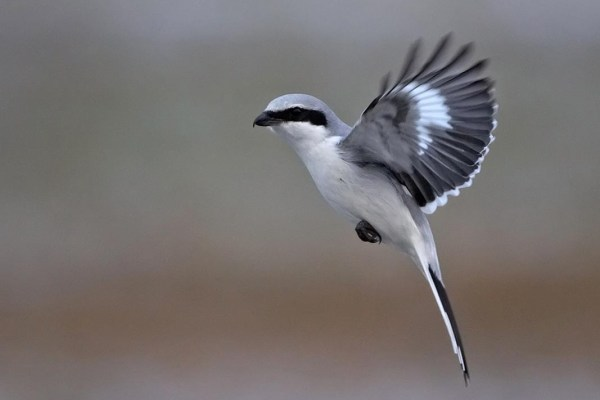 Grey-Shrikes