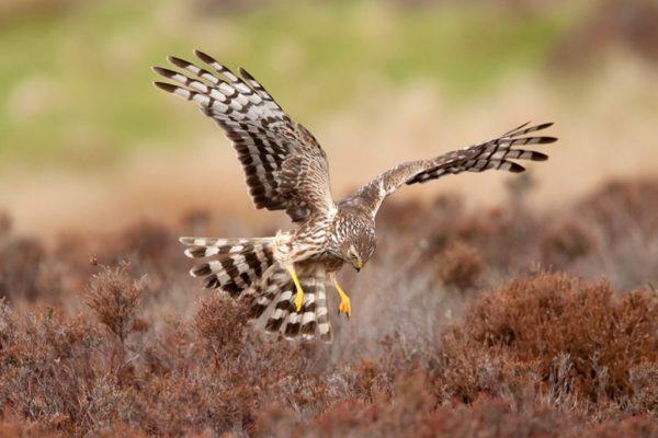 Hen-Harriers
