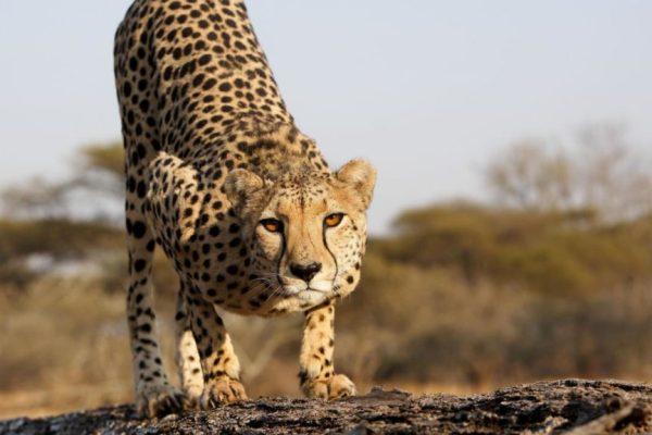 Cheetahs - Growing Up Fast: Natural World