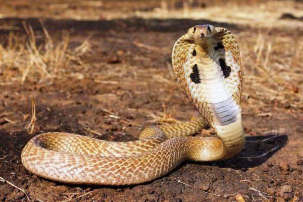 indian-king-cobra-snake