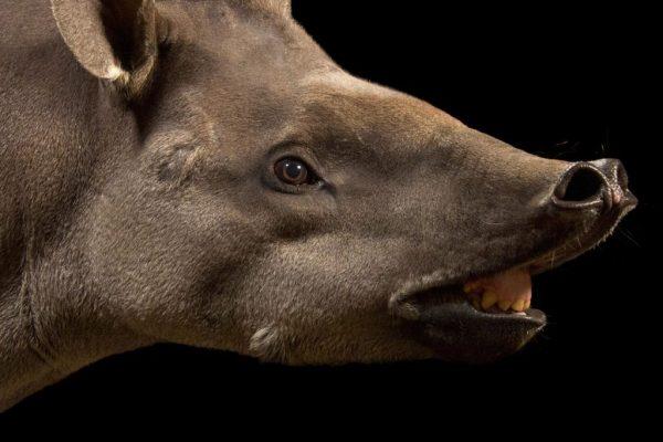 tapir-facts-1