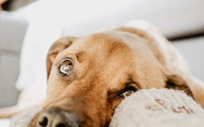 The Real Reason for Food Intolerances or IBD in Dogs