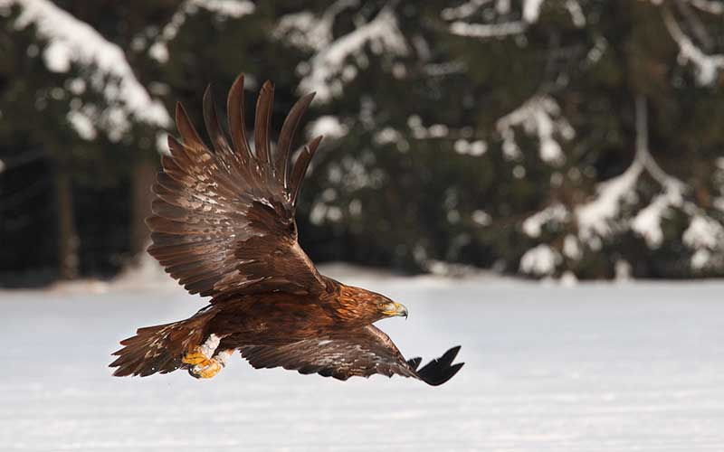 Aguila real volando