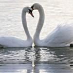 Cisne cantor con su pareja