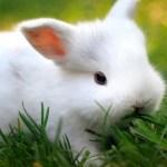 Cría de conejo