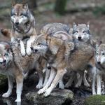 Lobo gris o lobo común manada