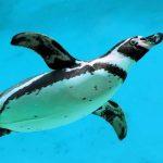 Pingüino barriga