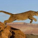 Mamífero carnívoro puma