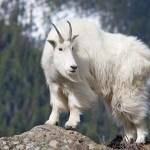 Cabra de Rocosas o rebeco blanco