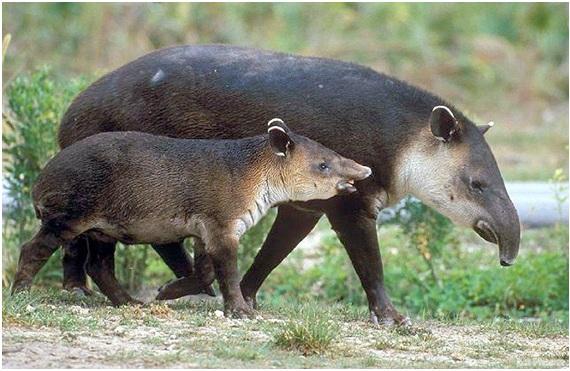 El Tapir Andino