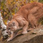 Puma emboscando