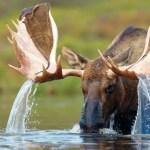 El Alce en el agua