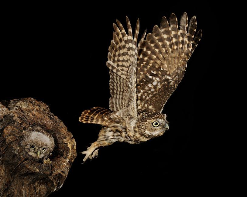Mochuelo común volando