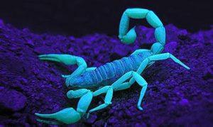 Escorpión o Alacran bajo la luz ultra violeta