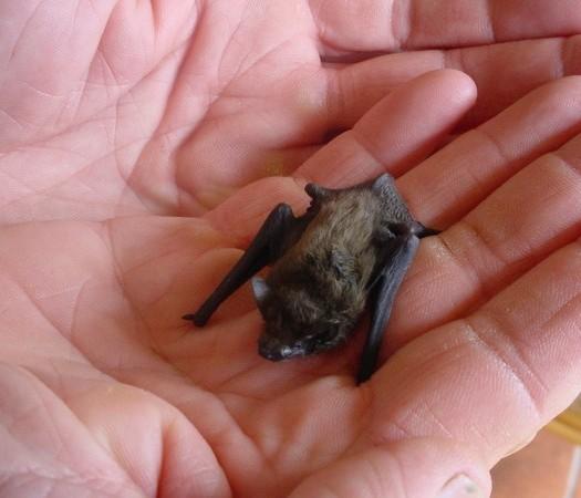 El murciélago nariz de cerdo de Kitti