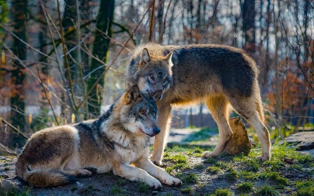 Los Lobos, ¿por qué aúllan? ¿Cuál es su jerarquía?