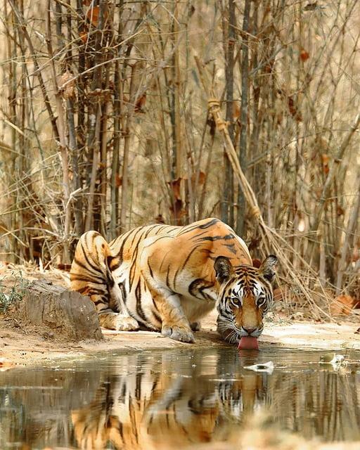 Tigre en su hábitat