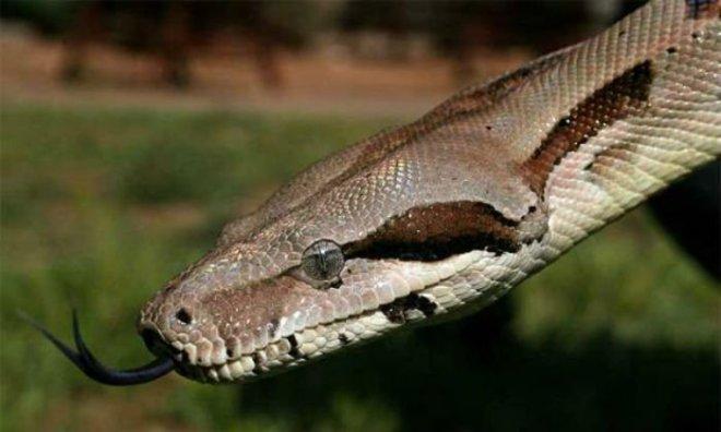 Serpiente mostrando la lengua
