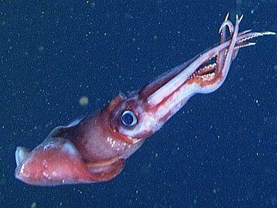 Calamar en su hábitat