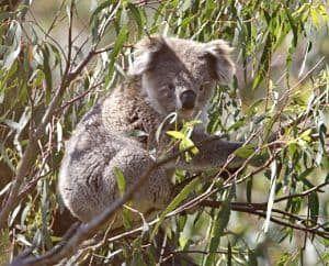 caracterisiticas de los koalas