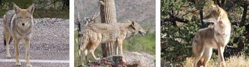 La alimentacion del coyote