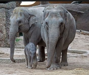 elefante asiatico caracteristicas