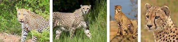 alimentacion del guepardo