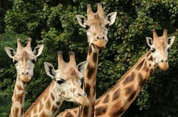 La vida de la jirafa