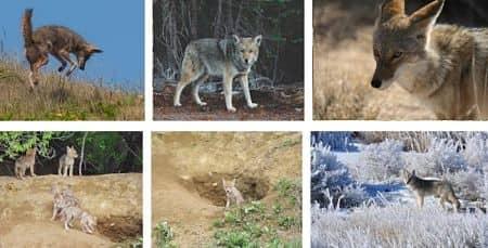 donde viven los coyotes