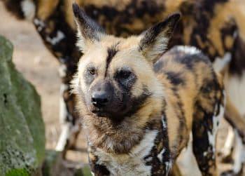 Habitat del perro salvaje africano