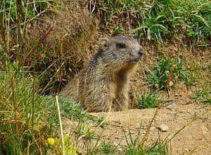 Donde vive la marmota
