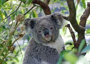 habitas de los koalas