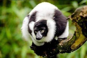 porque el lemur esta en peligro de extincion